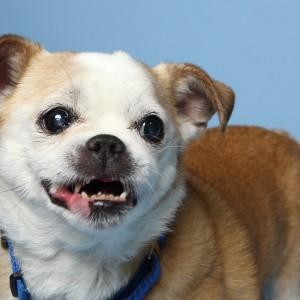 Chihuaha cross dog