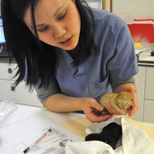 Vet examining a new kitten